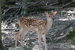 Axies_Deer