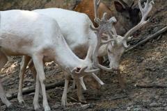Fallow_Deer2